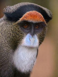 De Brazza's Monkey - great face (par One more shot Rog)                                                                                                                                                                                 More