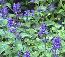 """This Nepeta cultivar is a dwarf, mounding, bushy perennial growing to 12"""" tall. Features dark blue flowers atop gray-green foliage. Blooms in spring with almost continuous rebloom into fall under optimum growing conditions and proper shearing of spent flower spikes. Excellent honeybee attractor."""