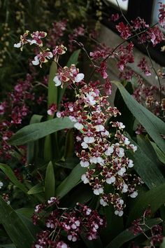 Orchids...chocolate oncidium