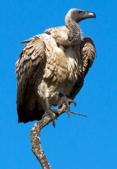Cape vulture (Gyps coprotheres). It is endemic to southern Africa, and is found mainly in South Africa, Lesotho, Botswana and in some parts of northern Namibia