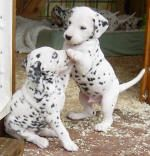 Dalmatian pups <3