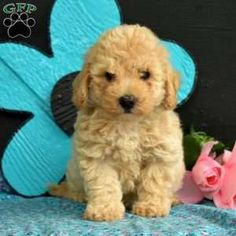 Bich-poo Puppy in Bird in Hand, PA Free Crochet Rose Pattern, Greenfield Puppies, Bichon Frise, Puppies For Sale, Poodle, Teddy Bear, Bird, Animals, Animales
