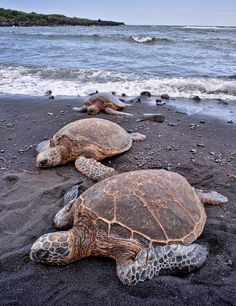 Hawaii Green Sea Turtles on Punalu'u Black Sand Beach on The Big Island of Hawaii by Argo Shots