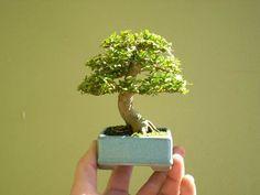 shito bonsai - Google-Suche