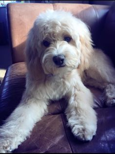 Our 7 month champagne Cavapoo after his first groom :)