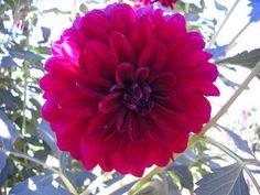 burgundy dahlia (bouquet)