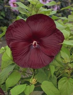 Heartthrob Hardy Mallow for sale buy Hibiscus 'Heartthrob' PP 24,760