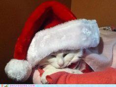 Santa Claws, beautiful cat :)