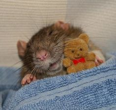 awww.... <3 <3 <3 (the biggest pic, I could find) / Millie has a teddy (seems like a source: http://kate-rat-town.tumblr.com/post/94980980078/millie-has-a-teddy)