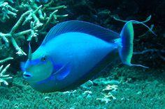 Image detail for -Unicorn Fish Colorful Fish, Tropical Fish, Unicorn Fish, Parrot Fish, Fauna Marina, Life Under The Sea, Unicorn Pictures, Salt Water Fish, Marine Fish