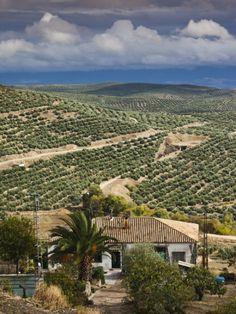 Un mar de olivos Olive Groves, Ubeda, Spain