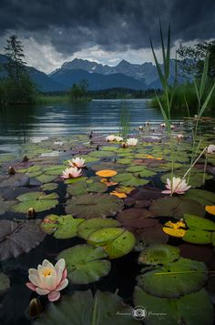 water lilly bay by Björn Nehrhoff von Holderberg / Beautiful Nature Wallpaper, Beautiful Landscapes, Beautiful Flowers, All Nature, Amazing Nature, Water Lilies Painting, Lily Pond, Nature Scenes, Nature Pictures