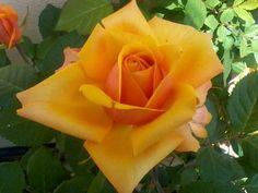 Rosa arancio