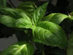 5 Herbs that Flourish in Containers: Basil
