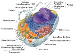 .:: Corpo Humano - Célula - Só Biologia ::. Biology Review, Study Biology, Ap Biology, Cell Parts, Plasma Membrane, Animal Cell, Cell Wall, Human Anatomy And Physiology, Sistema Solar