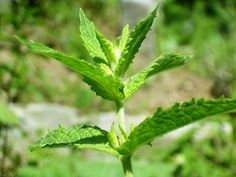 How to Decrease Testosterone in Women Naturally - they give spearmint tea as an option and that's really easy to take!