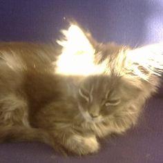 Nero genießt die Sonnenstrahlen Mystery, Cats, Animals, Maine Coon Cats, Sun Rays, Kunst, Gatos, Animales, Animaux