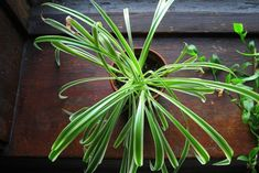 Houseplants bring lush color and texture to the interior of your homeunless theyre yellowed shriveled or covered with fungus. Here are 11 reasons your houseplants are dying with tips on how to save the greenery from an early grave. Borax Cleaning, Diy Home Cleaning, Household Cleaning Tips, Deep Cleaning Tips, Cleaning Recipes, House Cleaning Tips, Diy Cleaning Products, Cleaning Hacks, Speed Cleaning