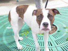 RETURNED 5/28/16 STRAY! SAFE 5/2/16 Brooklyn Center BANDIT – A1071128 FEMALE, WHITE / BR BRINDLE, AM PIT BULL TER MIX, 2 yrs OWNER SUR – EVALUATE, NO HOLD Reason OWNER SICK Intake condition EXAM REQ Intake Date 04/22/2016, From NY 11207, DueOut Date 04/22/2016, I came in with Group/Litter #K16-054583. Urgent Pets on Death Row, Inc