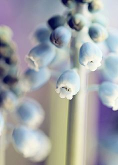 Muscari | Flickr - Photo Sharing!