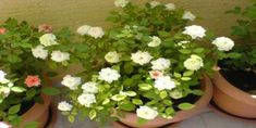 Bodur Gül Bakımı Nasıl Yapılır? Bonsai, Mandala, Plants, Plant, Mandalas, Planets, String Garden