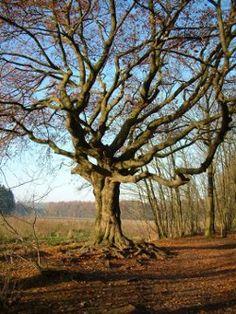 De heksenboom van Bladel Een streekverhaal uit de Kempen over de heksenboom van Bladel Doorklikken!