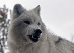Save the wolves ! : Photo