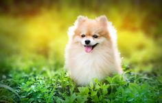 cute fluffy Pomeranian dog sitting in a spring park surrounded by yellow flowers on a sunny day Loyal Dog Breeds, Loyal Dogs, Bearded Collie, Yorkshire Terrier, Best Street Photographers, Pomeranian Spitz, Pomeranians, Buy A Dog, Cute Eyes