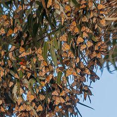 Monarch butterflies, California coast - Best Wildlife Viewing - Sunset
