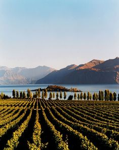 Vineyards in New Zealand