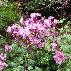 THALICTRUM aquilegifolium 'Purpureum' (Pigamon) : Très jolies plantes d'aspect léger, intéressantes autant par leur feuillage que par leurs fleurs. C'est dans les sols humifères, neutres ou acides qu'elles prospèrent le mieux. Feuillage glauque rappelant l'ancolie. Inflorescences ramifiées. Fleurs en pompons d'étamines pourprées.