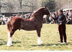 Profile - Nebo Brenin : my mares great grand sire