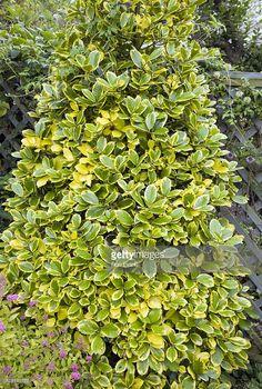 ilex aquifolium 220cm 7ft 3in variegated holly. Black Bedroom Furniture Sets. Home Design Ideas
