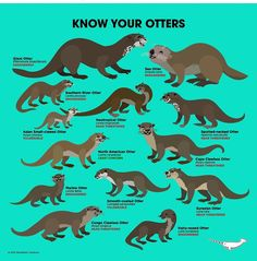 KNOW YOUR OTTERS There are 13 species of otters and all but one is in need of our help. Most otter species spend time near fresh water but the Sea Otter. Animals And Pets, Baby Animals, Funny Animals, Cute Animals, Baby Giraffes, Wild Animals, Otters Cute, Baby Otters, Baby Sloth