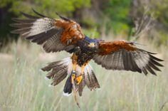 Joe, frenando el vuelo para posarse. http://www.facilisimo.com/eva_en_pruebas/blog/fotografia/general/sesion-fotografica-aves-rapaces_1216480.html