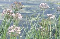 9 excellent pond plants for attracting wildlife Pond Plants, Animal Species, Nature Reserve, Medicinal Plants, Ponds, Something To Do, Wildlife, Waterfalls, Gardens