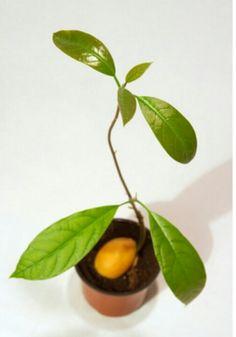 die besten 25 avacado growing ideen auf pinterest avocado baum wachsende avocado und avocado. Black Bedroom Furniture Sets. Home Design Ideas