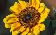 Yellow Sunflower #msqrd2 Photo Credit: Michael Moriarty Photography
