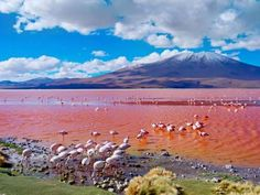 Laguna Colorada Located on the Bolivian Altiplano, along the Chilean border, the Laguna Colorada is a blood red tinted salt lake. Its strange color is caused by sediments and the pigments of certain micro organisms found in the lake.