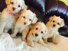 Another MalChiPoo - Maltese, Chihuahua, Poodle mix - a ...