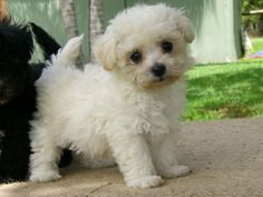 bichon poodle mix- just like buster!