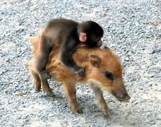 Baby friends - monkey and wild boar