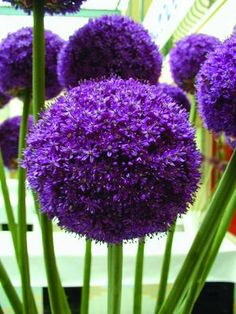 Ambassador - similar shape and form as giganteum; large intense reddish purple softball-sized flowers and strong stems; 3'-4';(24/28cm).
