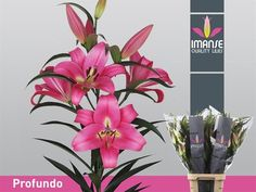 Today in the OZ Export webshop Specials: Lilium or Profundo, 110 cm, 5/7 buds, x 30 st. by Imanse Quality Lilies.