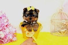 Some of the Tiniest, Most Beautiful Teacup Yorkie Puppies in the World! Teacup Yorkie and Small Toy Yorkies for Sale. See the Best! Micro Teacup Yorkie, Teacup Yorkie For Sale, Teacup Chihuahua Puppies, Yorkies For Sale, Yorkie Puppies For Adoption, Baby Yorkie, Yorkie Puppy For Sale, Little Dogs For Sale, Cute Little Dogs