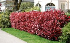 Red tip Photinia (early spring color) Red Tip Photinia, Photinia Fraseri Red Robin, Garden Hedges, Garden Plants, Indoor Plants, Red Shrubs, Evergreen Shrubs, Natural Fence, Garden Pictures
