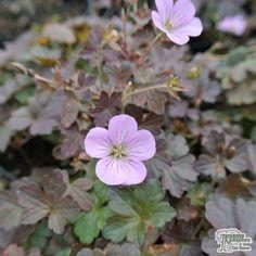Geranium endressii 'Dusky Crug'