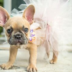 "115 Likes, 14 Comments - Dolores Mae (@dolores_mae) on Instagram: ""Fine. ONE more tutu shot...for now... #icanteven #puppylove #frenchielove #frenchieoftheday…"""