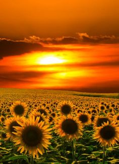 ✯ Morning Sunflowers