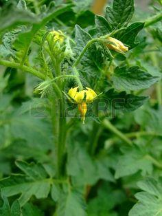 de tomate, tomates flores Foto de archivo - 13976141